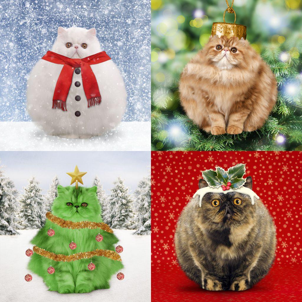 Christmas Pudding Cat - Exotic short-haired tortoiseshell