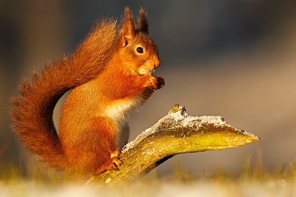 #:01572654 Red squirrel (Sciurus vulgaris) in winter in early morning light. Cairngorms National Park, Highlands, Scotland, UK © SCOTLAND: The Big Picture / naturepl.com