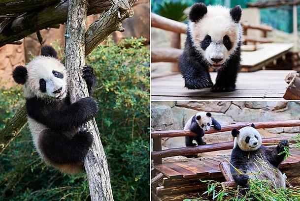 Baby Panda Yuan Meng © Eric Baccega / naturepl.com