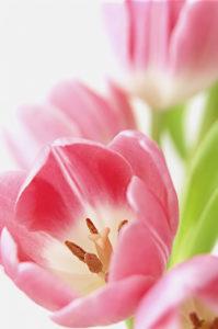 Tulipa, variety not identified, Tulip © Amanda Bunn / Flowerphotos