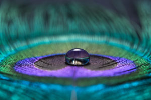 Water drop on peacock feather ©Sunyixun / Getty Images