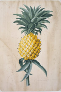 Ananas sativas. From a collection of original drawings and sketches by Georg Dionysius Ehret (1708-1770).© The Trustees of the Natural History Museum, London