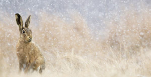 Brown hare Lepus europaeus, sitting in long grass in heavy snowfall, March ©Ben Hall (rspb-images.com)