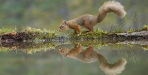 Red squirrel Sciurus vulgaris, adult at woodland pool, Cairngorms National Park, Scotland, November ©Mark Hamblin (rspb-images.com)