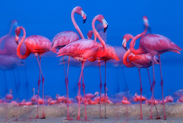Caribbean flamingo (Phoenicopterus ruber) preparing to sleep, Ria Lagartos Biosphere Reserve, Yucatan Peninsula Mexico, July