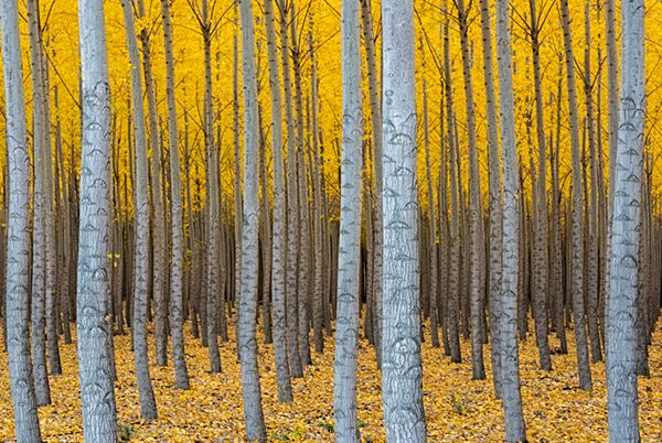 Hybrid Poplar tree plantation in autumn (Populs sp.). Boardman Tree Farm, near Irrigon, Oregon, USA. ©John Shaw / naturepl.com