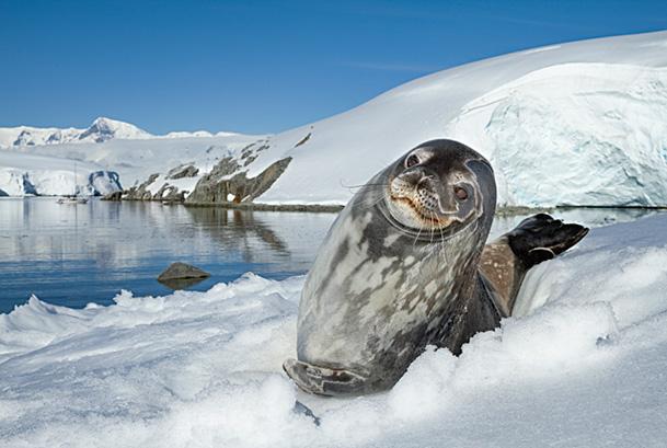 Weddell seal (Leptonychotes weddellii) hauled out on ice,  Antarctic Peninsula, Antarctica.