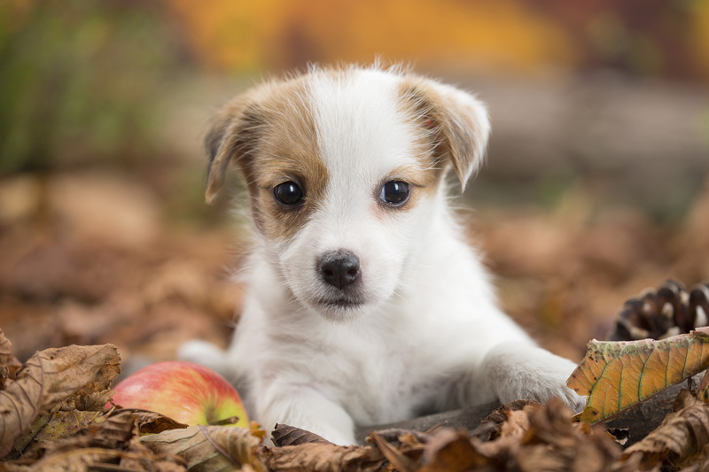 Dog ~ Jack Russell puppy
