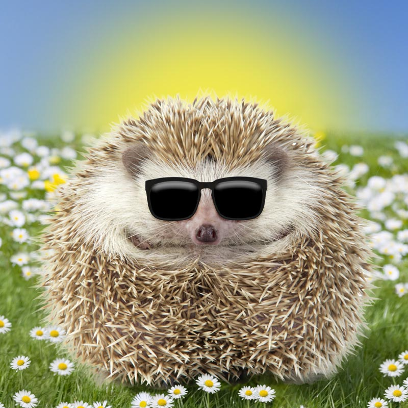 hegehog wearing sunglasses
