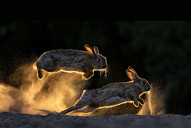 European rabbits (Oryctolagus cuniculus) fighting each other, Kiskunsag National Park, Hungary. June. Winner, 2019 Cadiz Photo Nature Competition.