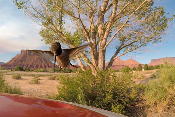 Black chinned hummingbird (Archilochus alexandri) feeding, Castle Valley, Utah, USA ©Fred Olivier / naturepl.com
