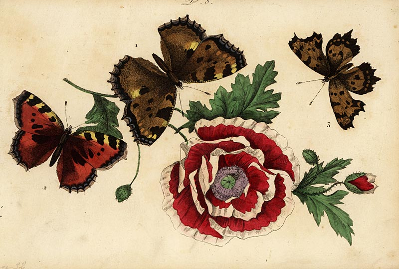Large tortoiseshell, Nymphalis polychloros 1, small tortoiseshell, Aglais urticae 2, and comma butterfly, Polygonia c-album 3, with poppy. Vanesse grande tortue, Vanesse petite tortue, Vanesse gamma. Handcoloured lithograph from Musee du Naturaliste dedie a la Jeunesse, Histoire des Papillons, Hippolyte and Polydor Pauquet, Paris, 1833.     Date: