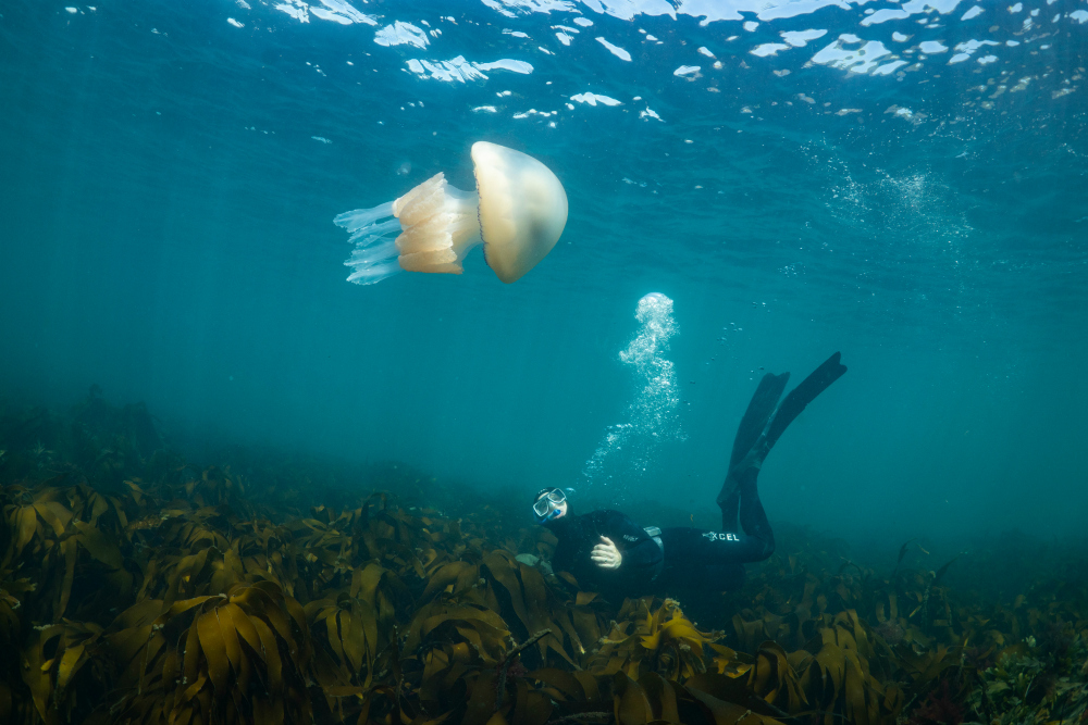 Barrel Jellyfish and snorkeler