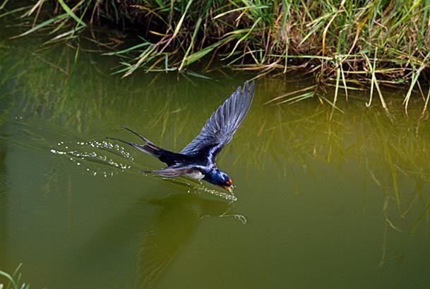 Barn swallow (Hirundo rustica) drinking while in flight, UK