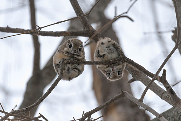 Pair of Japanese dwarf flying squirrels (Pteromys volans orii) during the reproductive season, on branch nlooking down, Hokkaido, Japan. The female is on the left, male right.