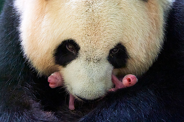 Giant panda (Ailuropoda melanoleuca) female, Huan Huan, holding her female twin newborn babies, Beauval ZooParc, France 2 August 2021. Editorial use only.