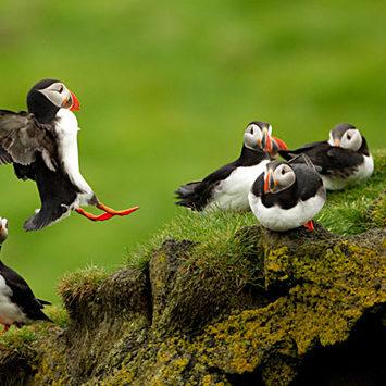 Atlantic Puffin (Fratercula arctica) landing among flock, Elliðaey, Westman Isles, Iceland, June