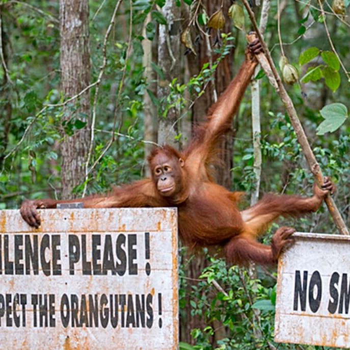 Bornean Orangutan (Pongo pygmaeus) next to signs which say 'Silence please. Respect the orangutangs' and 'No Smoking' Tanjung Puting National Park, Borneo, Indonesia., Indonesia