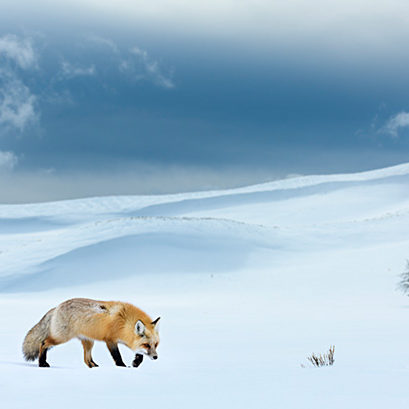 RF - Red fox (Vulpes vulpes) foraging in snow covered valley. Hayden Valley, Yellowstone National Park, USA. February 2019. (This image may be licensed either as rights managed or royalty free.)