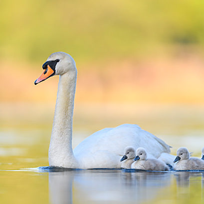 Mute swan (Cygnus olor) parent and cygnets swimming. London, UK. May