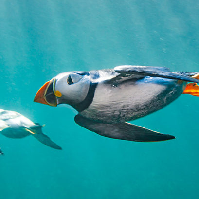 Puffins (Fratercula arctica) swimming underwater. Puffins spend most of their lives at sea and are excellent underwater swimmers, which is how they catch small fish, their main food.  , Farne Islands, Northumberland. England, UK. North Sea. July.