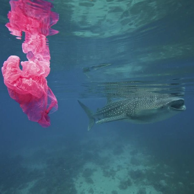 A whale shark swims by while a plastic bag floats around. Plastic kills way too much marine life.